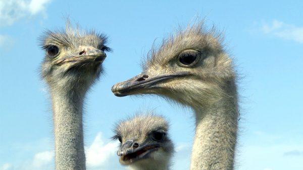 Strausse ganz nah. Die Riesenvögel sind beeindruckend.